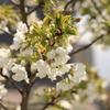 この木は5分咲き