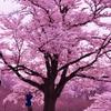 見上げる桜色