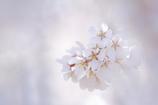 春光と枝垂れ桜