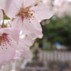 雨の桜 3