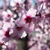 今年最初の桜(2014年)