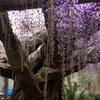 池田・熊野の長藤まつり4