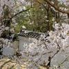 2015 岡崎城の桜