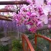 池田・熊野の長藤まつり5