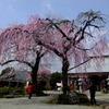 神奈川県秦野市のしだれ桜