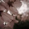 雨の桜 2