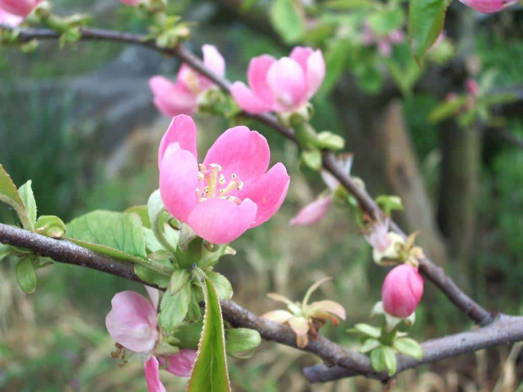 カリンの花、紀州富士竜門山にて
