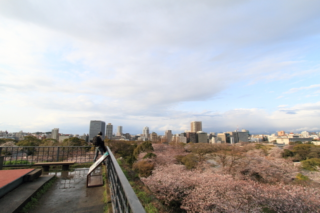 桜 舞鶴公園