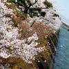宇治川 桜祭り