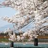 宇治川 桜祭り2