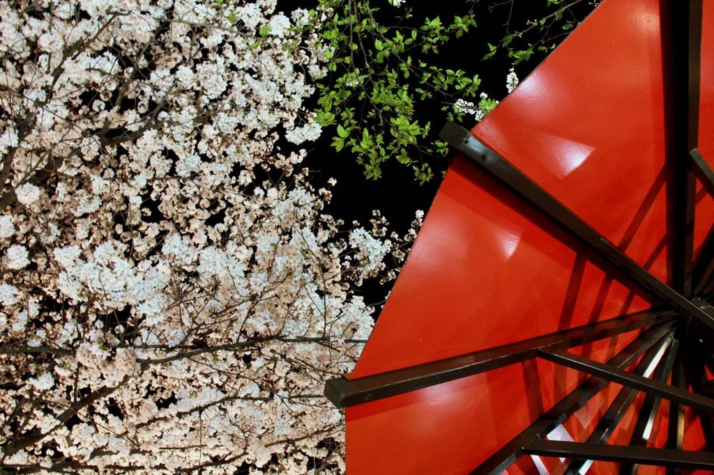 京都祇園 夜桜2