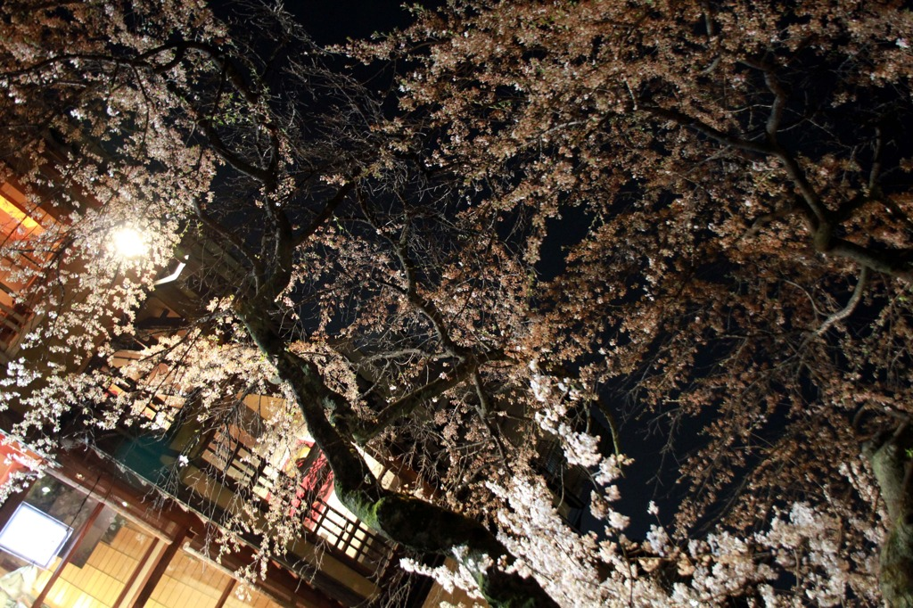 京都祇園 夜桜