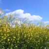 菜の花畑と空の青