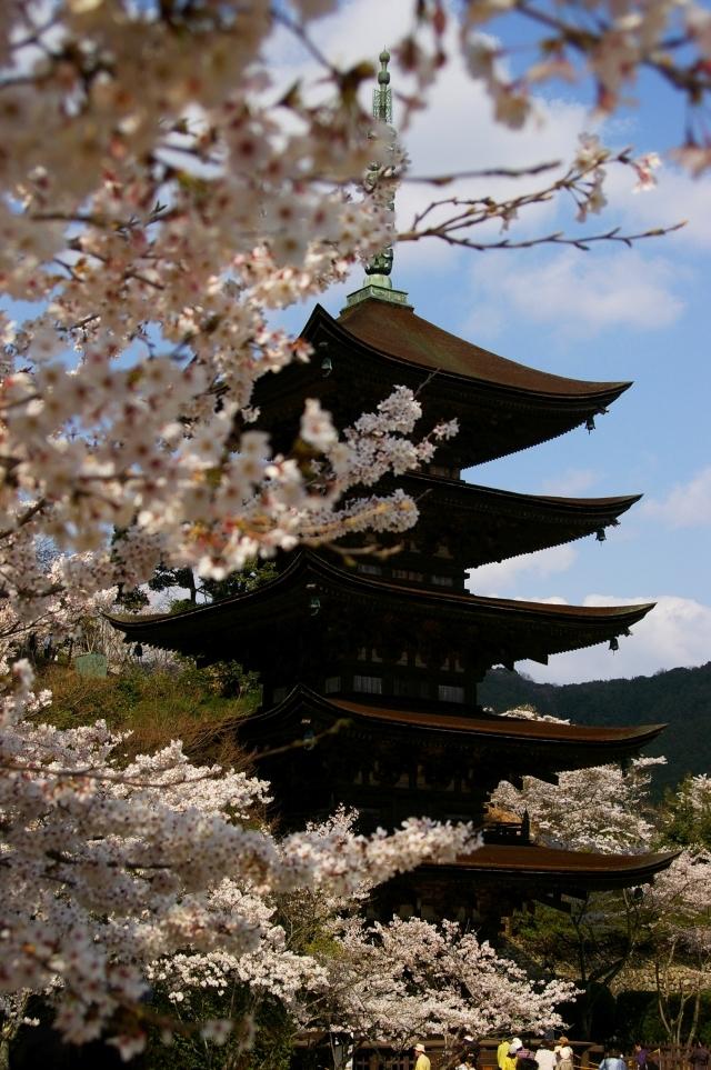 瑠璃光寺五重塔と桜