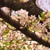 葉桜になりました