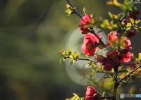 CANON Canon EOS 6Dで撮影した(リング木瓜)の写真(画像)