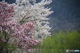 桜のある光景3 競艶