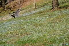 群れて咲く オオイヌノフグリ