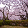 日本さくら名所100選 徳島 西部公園