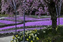 芝桜と桜と水仙