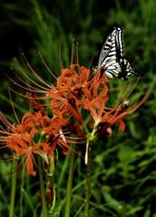 彼岸花に遊ぶ蝶