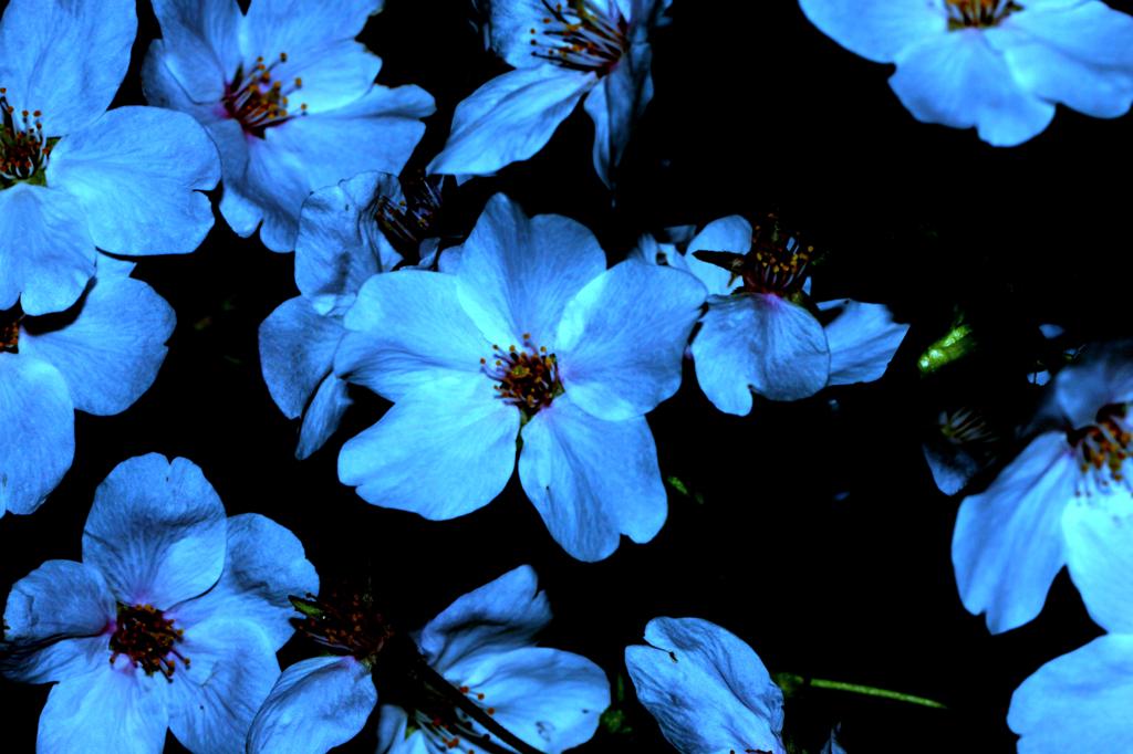 蒼なる桜(おう)