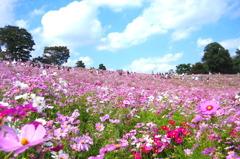 昭和記念公園 コスモスの丘