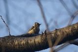 見沼のコゲラ