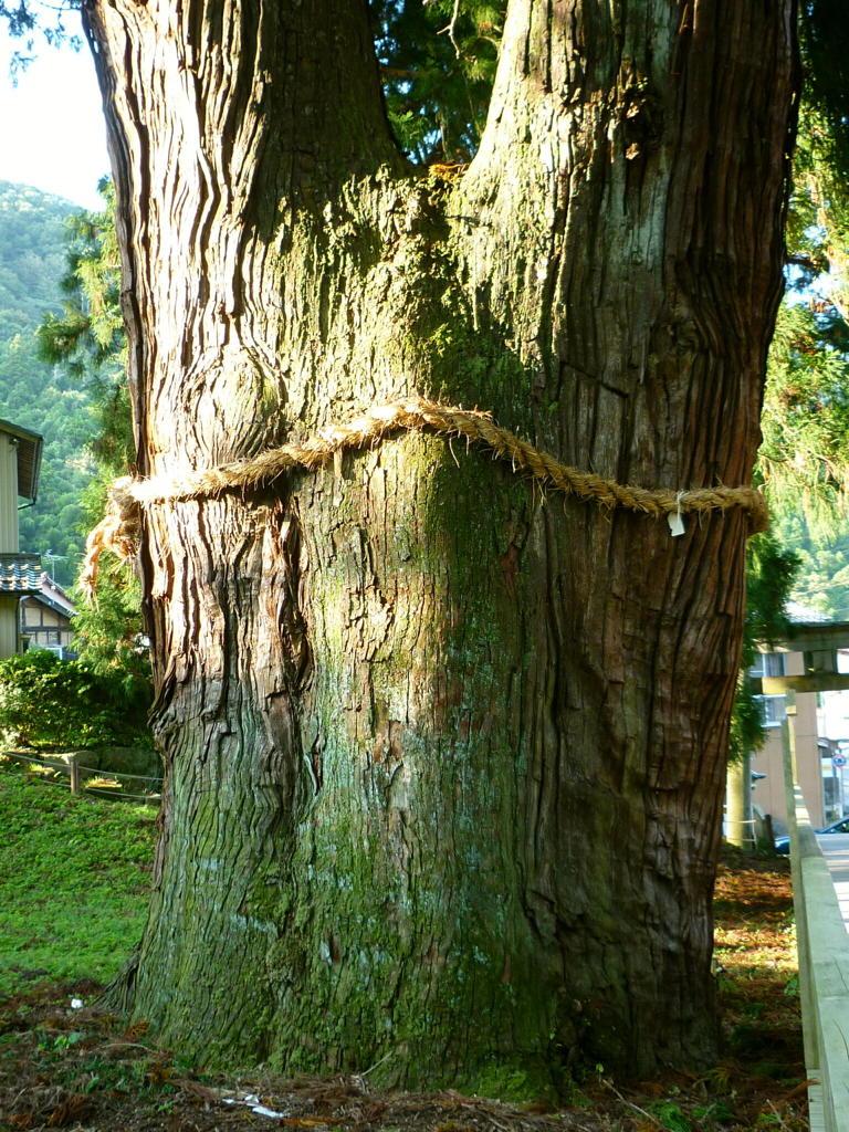 樹齢2300年