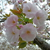 フカフカ桜