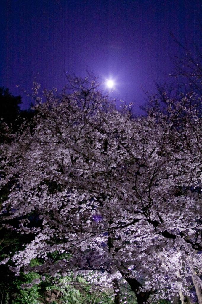 満月と夜桜。