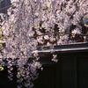 武家屋敷の黒塀としだれ桜