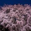 しだれ桜 満開!!