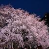 しだれ桜のライトアップ2