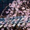 真田門としだれ桜