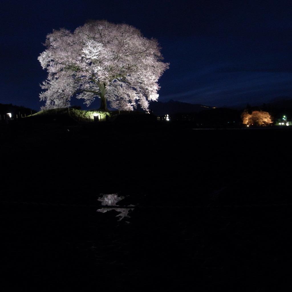 続 わに塚の桜