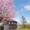 おじいさんの桜。