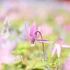 春の妖精。