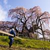 今さら滝桜5