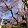 今さら滝桜1