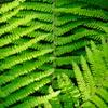 新緑のシダ