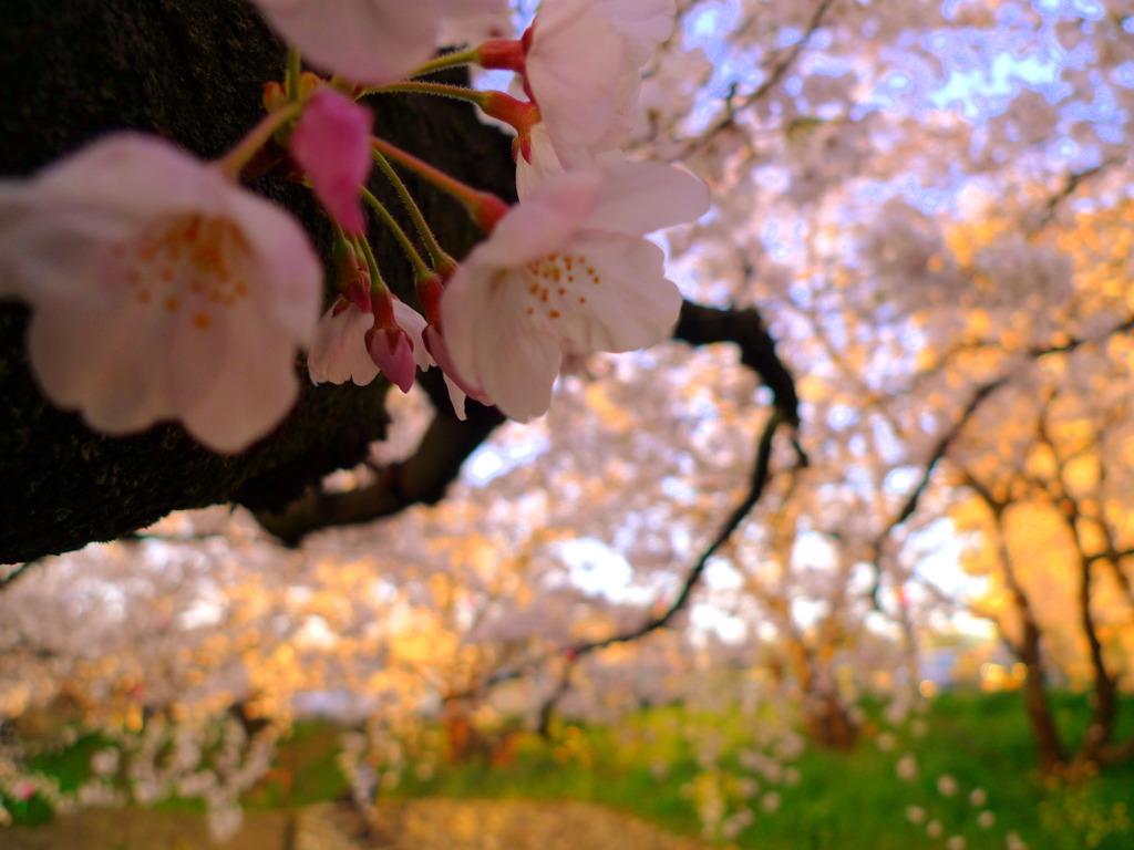 岩倉桜まつり 中の蕾