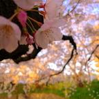PANASONIC DMC-LX3で撮影した植物(岩倉桜まつり 中の蕾)の写真(画像)