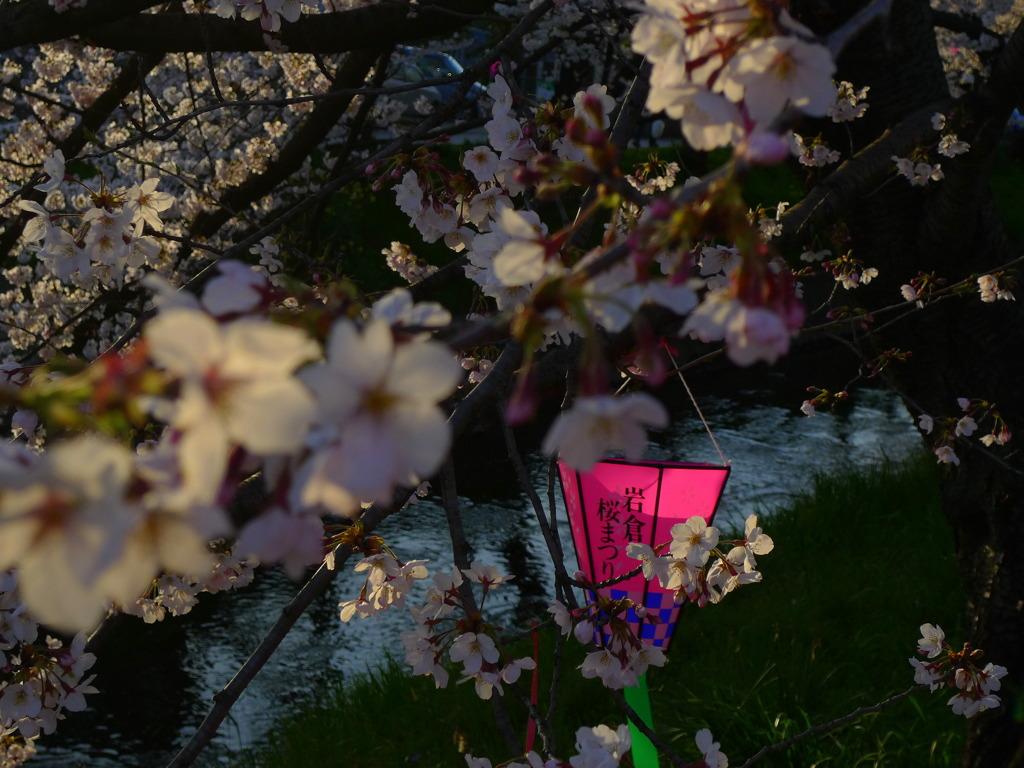岩倉桜まつり ぼんぼり