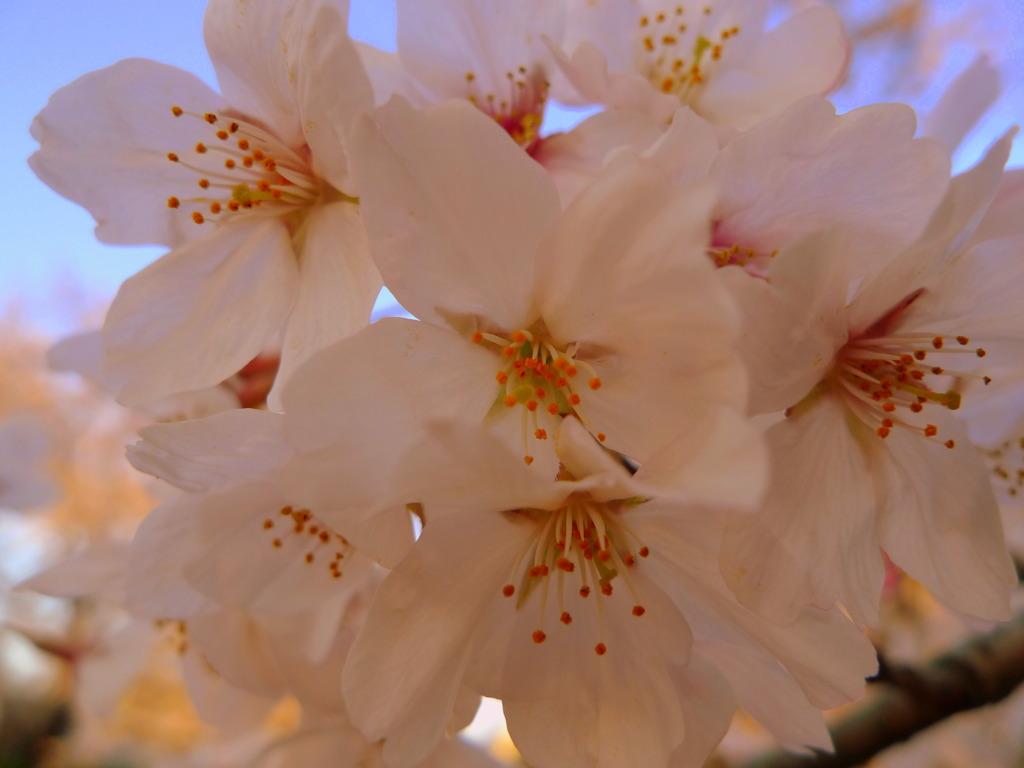 岩倉桜まつり アップ