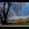 諏訪湖と桜3