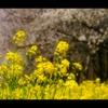 菜の花ロード3