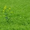 春 -菜の花-