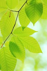 a clear leaf