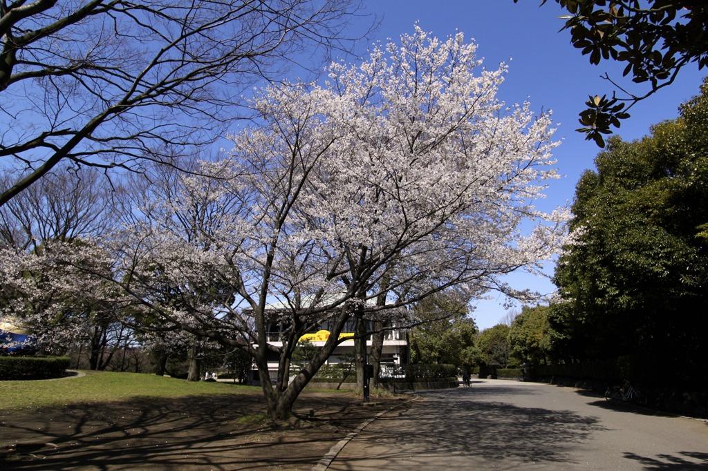 cherry blossoms (sakura,桜)